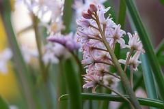 Hyacinth (Michael Schnborn) Tags: wild plant flower garden outside bokeh samsung hyacinth hyazinthe nx500 nx50200f456