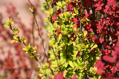 Berberis (Ollafoto) Tags: plant green beautiful garden spring colorful berries may beaut berberis