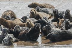 Grey Seals on Seal Sands (Tim Melling) Tags: grey atlantic estuary seals teesside tees halichoerus timmelling gryppus