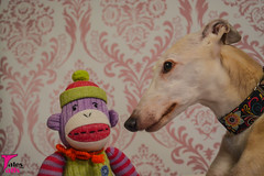 Sharing Secrets (houndstooth4) Tags: dog greyhound bunny ddc odc 2052 day135366 52weeksfordogs dogchal 14may16 366the2016edition 3662016