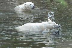 Eisbren Akiak und Higgies  im Ouwehands Dierenpark Rhenen (Ulli J.) Tags: netherlands zoo utrecht nederland polarbear paysbas ijsbeer rhenen niederlande eisbr ouwehandsdierenpark isbjrn ourspolaire nederlandene