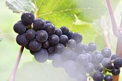Rippon Vineyard