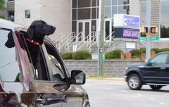Jesus saves black labs. (Just Back) Tags: life street city dog black sc church window car fur mammal nose mutt labrador god live faith pray jesus hound columbia retriever whiskers smell hillary carolina blacklab alive trump scent millwood jeebus gervais nazareth canis