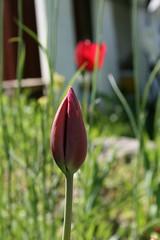 IMG_9754 (ivi.lipp) Tags: tulp