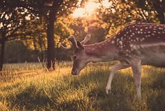 Buck at sunset (liz stowe) Tags: park ireland sunset dublin nature phoenix golden evening stag wildlife deer bucks
