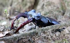 Lucanus Cervus (Saccco) Tags: macro canon insect stagbeetle nagy lucanus cervus rovar 600d szarvasbogr vdett