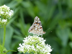 Distelfalter (four-hearts) Tags: natur pflanze falter blume insekt tier schmetterling distelfalter wanderfalter edelfalter