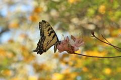 pinks and golds (Glenna Barlow) Tags: pink flower nature yellow butterfly insect spring flora wing southcarolina azalea sprintime wildazalea waveringplace