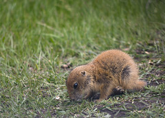 Prairie dog pup (s.d.sea) Tags: road park dog baby black animal forest spring state pentax loop outdoor wildlife south hills national prairie pup dakota custer