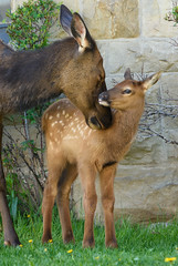 A Mother's Love (Amy Hudechek Photography) Tags: baby nature spring wildlife mother yellowstonenationalpark elk calf tenderness ynp amyhudechek