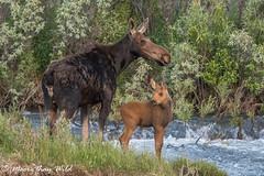 Moose Cow & Calf (moore.sterling) Tags: moose grandtetonnationalpark grosventreriver sterlingmoore moorethanwildphotography