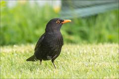 Blackbird (pstani) Tags: uk skye bird scotland turdusmerula blackbird hebrides carbost