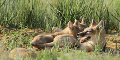 Nursing (gainesp2003) Tags: nature mammal colorado wildlife national fox co kits swift kit foxes grasslands velox pawnee vuples