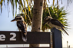 Kookaburra 2 (J.W.F Photography Portfolio) Tags: trees holiday birds animals sign paradise wildlife australian palm cruiseship moretonisland kookaburra