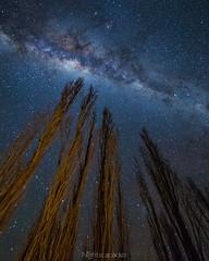 Stretching for the stars (nightscapades) Tags: trees sky night stars poplar astrophotography astronomy nightscapes milkyway southcoastnsw turosshead tuross bodalla galacticcore eurobodalla