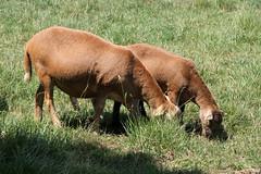 Next generations (baalands) Tags: red summer grass hair sheep pasture lamb grazing katahdin ewe
