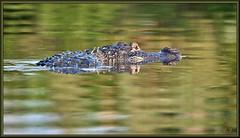 Follow the leader (WanaM3) Tags: nature nikon texas gator reptile wildlife alligator bayou pasadena canoeing predator paddling alligatormississippiensis clearlakecity d7100 horsepenbayou wanam3 nikond7100