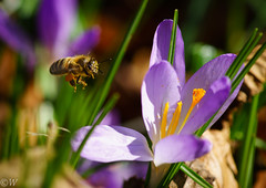 Bee, pollinate me! (Kees W) Tags: flower macro insect spring minolta sony crocus 100mm bee hd f28 a7 krokus 2015