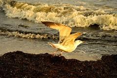 Grmitz,Ostsee (Germany) (jens_helmecke) Tags: sea beach nature water birds strand germany deutschland wasser natur baltic jens ostsee schleswigholstein wasservgel kurort grmitz helmecke