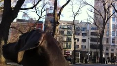 squirrels and Chinese opera music in the background (VanaTulsi) Tags: dog weimaraner weim blueweimaraner vanatulsi blueweim