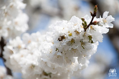 Cherry bloom (andrea.prave) Tags: flowers white plant flores tree primavera blanco fleur cherry spring blossom flor bee ape bloom fiori  abeja wit bianco blanc printemps abeille mola biene frhling ciliegie ciliegio    voorjaar weis