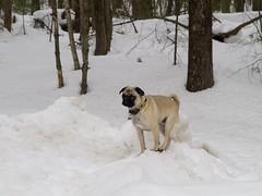 Snow Pug (Pak T) Tags: dog snow pug bennett zuikodigital olympus1260mm