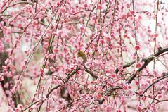 20150308_01_Kyoto (jam343) Tags: pink flowers flower bird japan spring kyoto plum 京都 japanesewhiteeye prunus whiteeye fushimi 梅 jonangu メジロ ウメ 伏見 城南宮 うめ jonangushrine