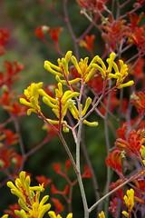 Kangaroo Paw like fire (finwyal) Tags: australia australianflora kangaroopaws