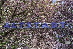 Bonn-Kirschbluete-26 (kurvenalbn) Tags: deutschland bonn pflanzen blumen nordrheinwestfalen frühling kirschbluete