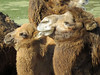 Bactrian Camels (2) (bookworm1225) Tags: zoo october 2014 minnesotazoo northerntrail tropicstrail