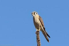 American Kestrel (female) (Linda Chittum) Tags: colorado raptor falcon americankestrel falcosparverius