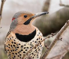 Flicker (snooker2009) Tags: winter bird nature yellow spring woodpecker flickr wildlife migration northern flicker shafted dailynaturetnc13