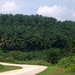 African Oil Palms - Malaysia