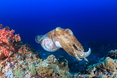 Big Cuttlefish. (WhitcombeRD) Tags: ocean life light red sea wild two fish color nature water coral sepia swim indonesia thailand aquarium marine colorful underwater snorkel arms natural pacific wildlife pair dive egypt conservation scuba snorkeling exotic squid camouflage tropical octopus environment shooting aquatic cuttlefish reef creature tentacle undersea komodo ecosystem biodiversity cephalopod hooded sepiida cuttle cephalopoda