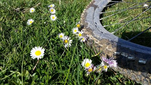 belgrad bisiklet tekeri, çamur, papatya, çimen