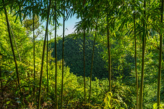 Bamboo Jungle II (deyveone) Tags: green hawaii maui bamboo jungle dschungel bambus