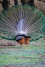 "Peacock Butt <a style=""margin-left:10px; font-size:0.8em;"" href=""http://www.flickr.com/photos/41134504@N00/16995517988/"" target=""_blank"">@flickr</a>"