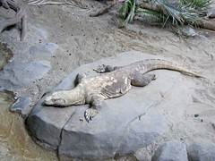 Komodo Dragon (2) (bookworm1225) Tags: zoo october minnesotazoo 2013 tropicstrail minnesotatrail