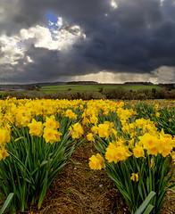 Rainy skies (Through Bri`s Lens) Tags: uk england storm flower rain yellow cornwall daffodil bloom lelant canon1740f4l carbisbay brianspicer canon5dmk3
