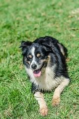 Juju (mcvmjr1971) Tags: dog brasil nikon collie sopaulo border cachorro f18d itatinga nikkor85mm d7000 mmoraes sigma150mmfazendanirvana