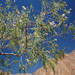 Flor Desertica_4959