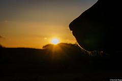 My dog ist watching the sunset (DO5DKL) Tags: old dog lake tree green nature sunrise fence germany sonnenuntergang sony gras zaun birke sonyalpha mirrorless hohenahr nex3 dslm normanrupp