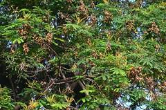 Adenanthera pavonina tree laden with pods_Ratan gunj_Mimosaceae_Pherozeshah Mehta_2016-05-06_(3) (Shubhada Nikharge) Tags: tree native deciduous indigenous hanginggarden mimosaceae redbeadtree indianflora mumbaiflora adenanthera coralwood badigumchi redsandalwood adenantheragersenii adenantherapolita corallariaparvifolia nativetoindia floraofmumbai adenantherapavoninaratangunj pherozeshahmehtagarden   thorlagoonj thorligunj
