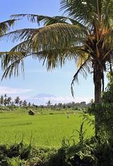 Bali Rice Fields & Mountain (NikolaiTF) Tags: bali mountain canon 50mm rice sigma fields 6d