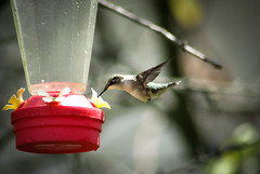 Ruby Throated Hummingbird (jsax2015) Tags: cute bird canon fly wings backyard hummingbird feeder birdwatch rubythroatedhummingbird birdshare