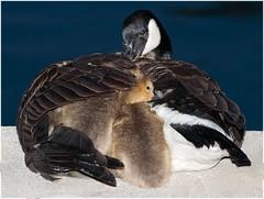 2016 A Safe Harbor (DrLensCap) Tags: park baby chicago canada robert harbor illinois goose il parent goslings lincoln montrose safe kramer a golsling