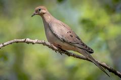 Mourning Dove (Alvin Sangma Photography) Tags: green nature outdoors bokeh mourningdove naturephotography nikond300 nikon200500f56