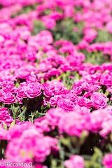 _DSC9258.jpg (Riccardo Q.) Tags: macro fiori fiore altreparolechiave floreka