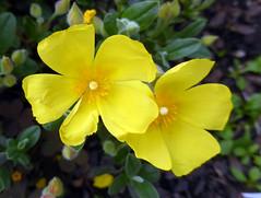 Halimium lasianthum (Lam.) Spach 1836 (CISTACEAE) (helicongus) Tags: spain cistaceae halimium halimiumlasianthum jardínbotánicodeiturraran