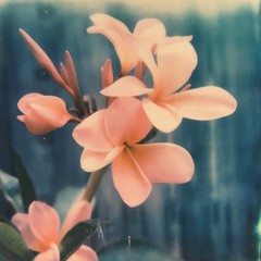 Paradise Blooms (dreamscapesxx) Tags: flowers polaroid plumeria tropical instant intheyard prettyandpink saintpetersburgfl sx70sonaronestep theimpossibleproject snapitseeit impossiblesx70blackframefilm
